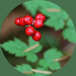 actaea plant