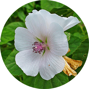 althaea officinalis marsh-mallow flower