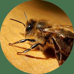 bee representing apis bee venom