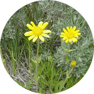 arnica wolf's bane flowers