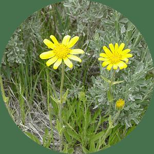 arnica wolf's bane flowers