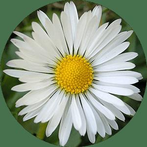 bellis daisy flower