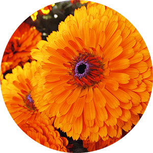 calendula officinalis pot marigold flower