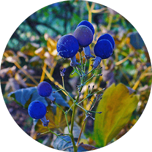 caulophyllum blue cohosh fruit