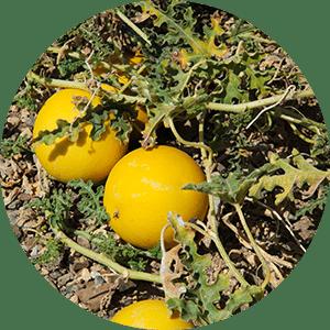 colocynthis bitter apple bitter cucumber desert gourd