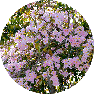 guaiacum roughbark lignum-vitae flowers