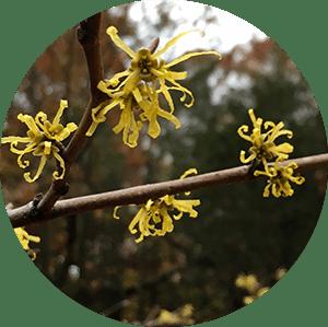 hamamelis virginiana witch hazel flowers