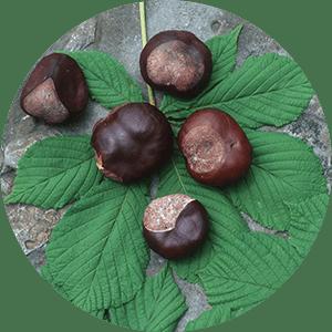 aesculus hippocastanum horse chesnuts