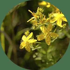 hypericum perforatum flowers