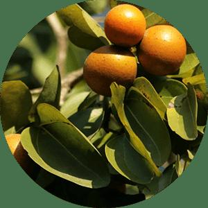 ignatia st. ignatius bean tree