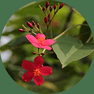 jatropha nettlespurge flowers