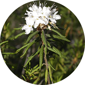 ledum labrador tea flowers