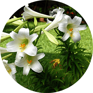 lilium lily flowers