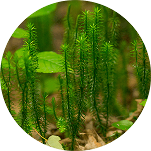 lycopodium ground pines creeping cedar plant