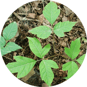 rhus toxicodendron poison ivy leaves