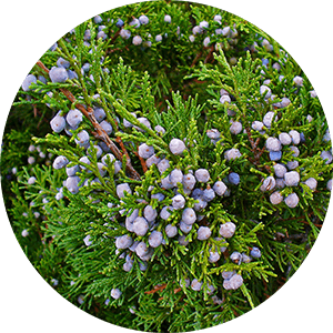 juniperus sabina juniper berries