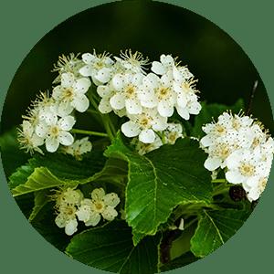 spirea blossom flowers representing salicylicum acidum