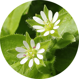 sellaria media chickweed flowers