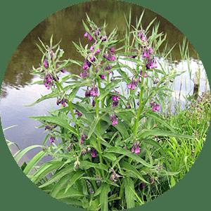 symphytum offinale comfrey flowers