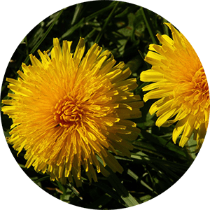 taraxacum dandelion flowers