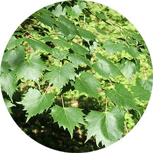 tilia lime tree leaves