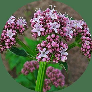 valeriana officinalis valerian flowers