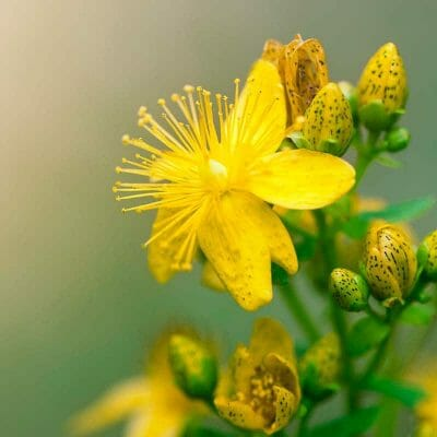 Yellow flower and flower buds with yellow stamen and black flecks to represent natural healing